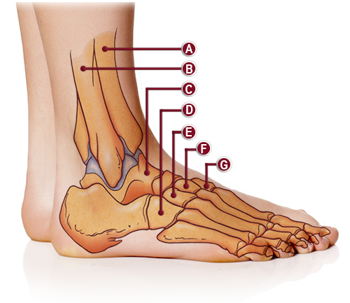 BONES OF THE ANKLE ANATOMY ILLUSTRATION