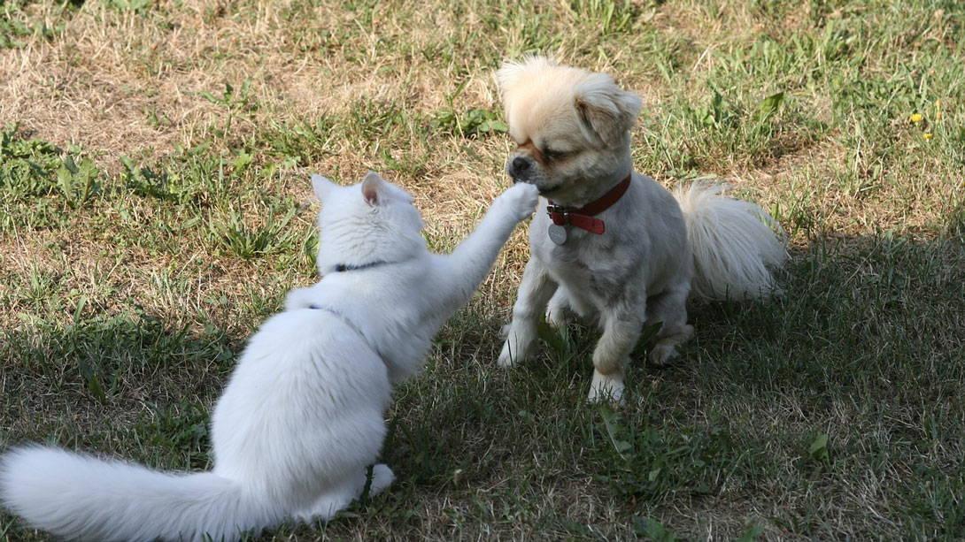 Katze greift kleinen Hund an