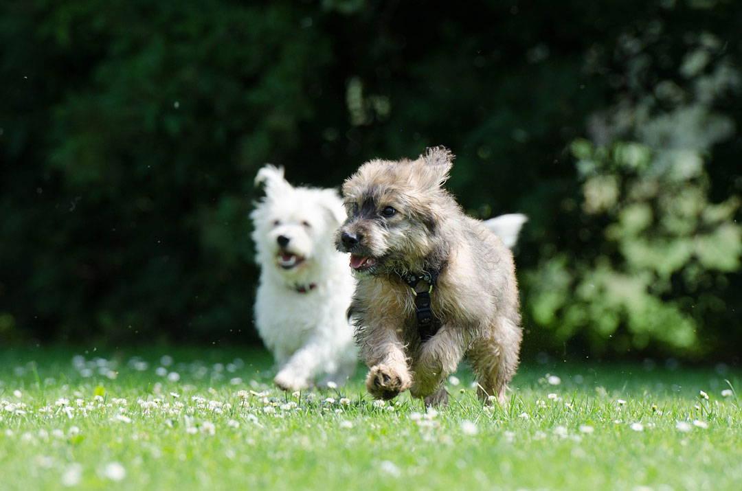 Junge Hunde laufen auf der Wiese