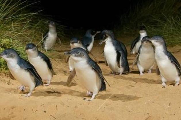 Парад пингвинов на острове Филлипа