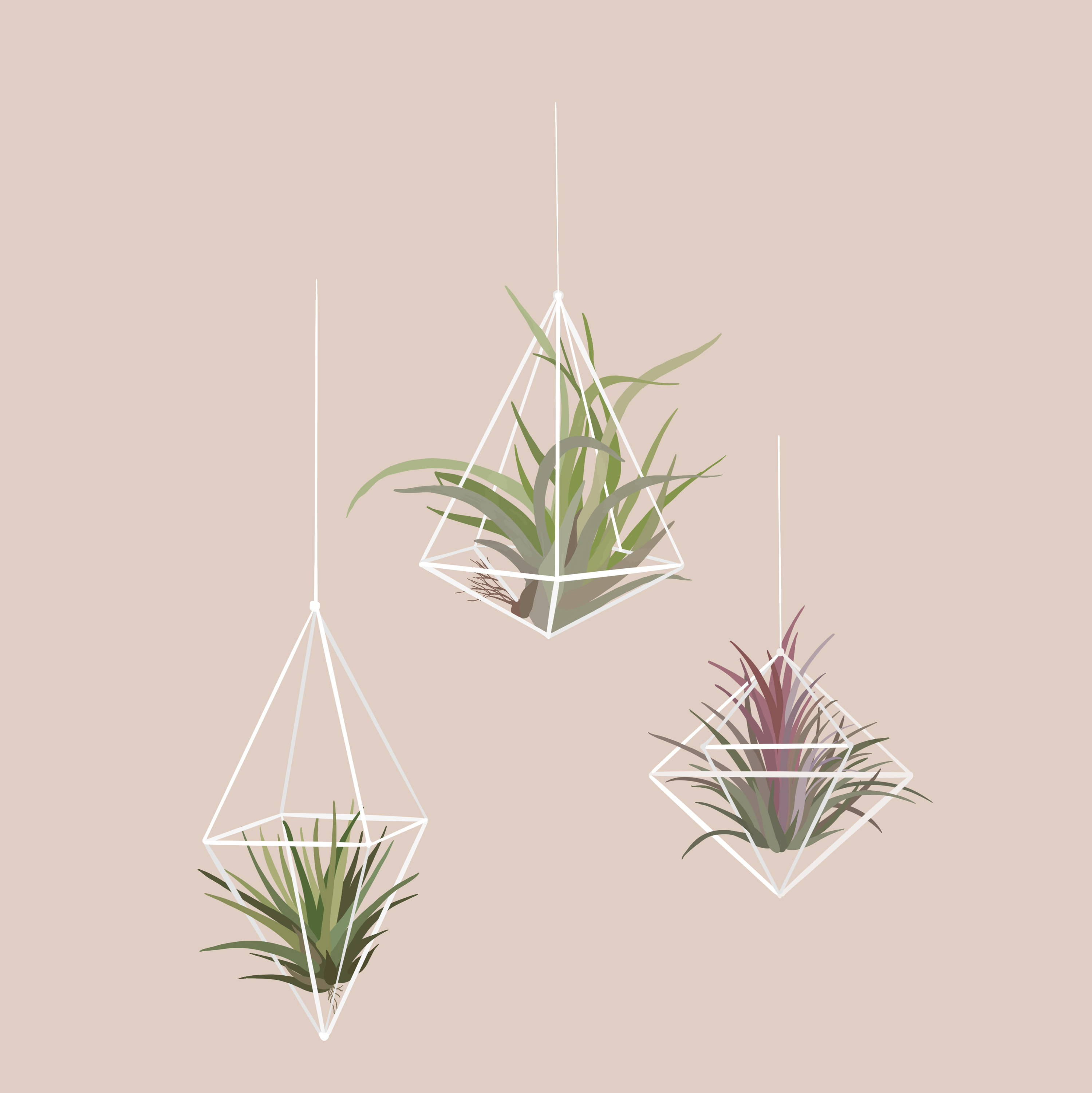 Drawing of Air Plants