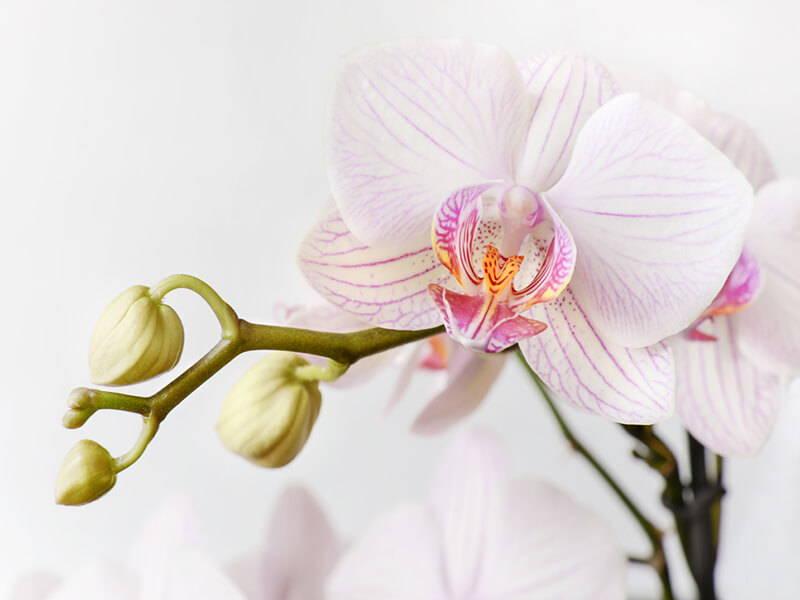 Phalaenopsis Care Repotme