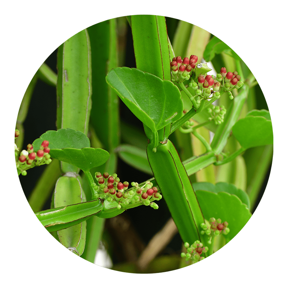 cissus herb health benefits | dendera naturally