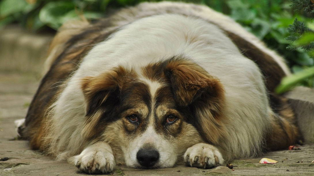 Diabetes beim Hund - Titelbild
