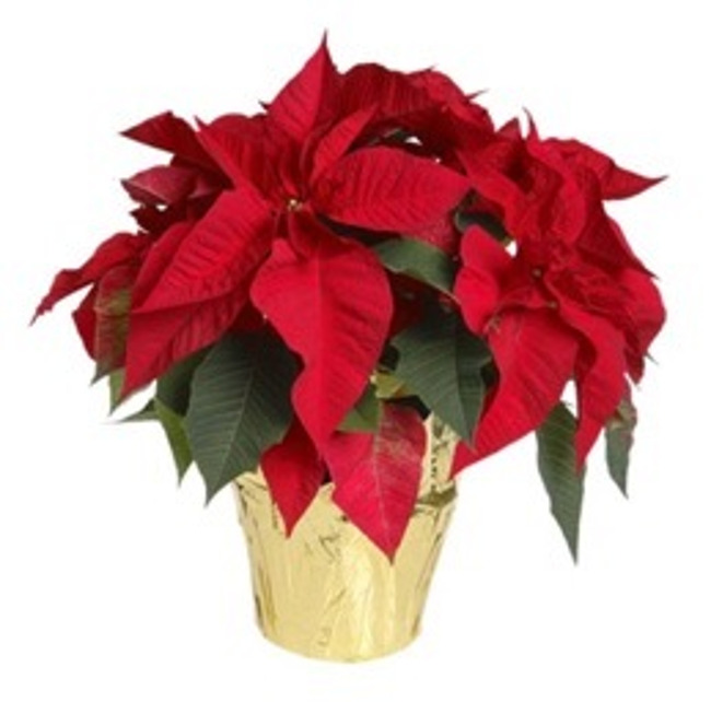 Close up of a Poinsettia plant in a pot