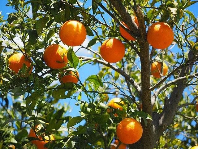Orangen machen gute Laune