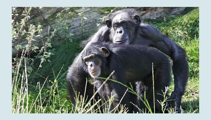 zoom erlebniswelt schimpansen