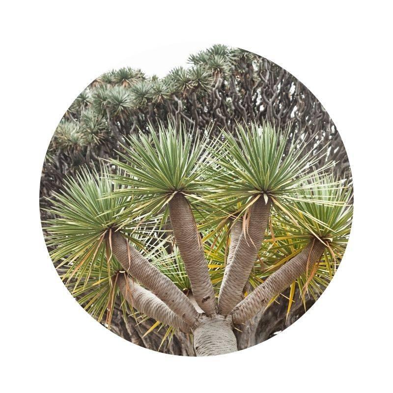 Heilen, Heilwirkung, Wirkung Drachenblut Drachenblutbaum