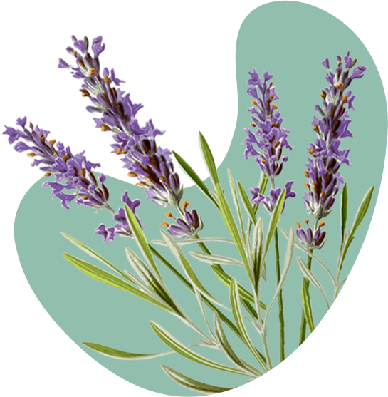 Lavendar plant