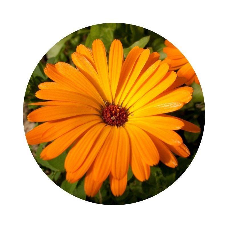 Heilen, Heilwirkung, Wirkung Ringelblume