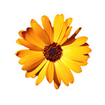 Calendula for Pain Relief