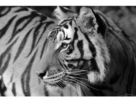 Carolina Tiger Rescue Wrapped Canvas - Madonna Tiger