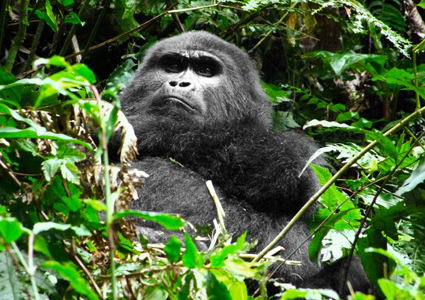 wild-thing-cosmo-meets-mountain-gorillas