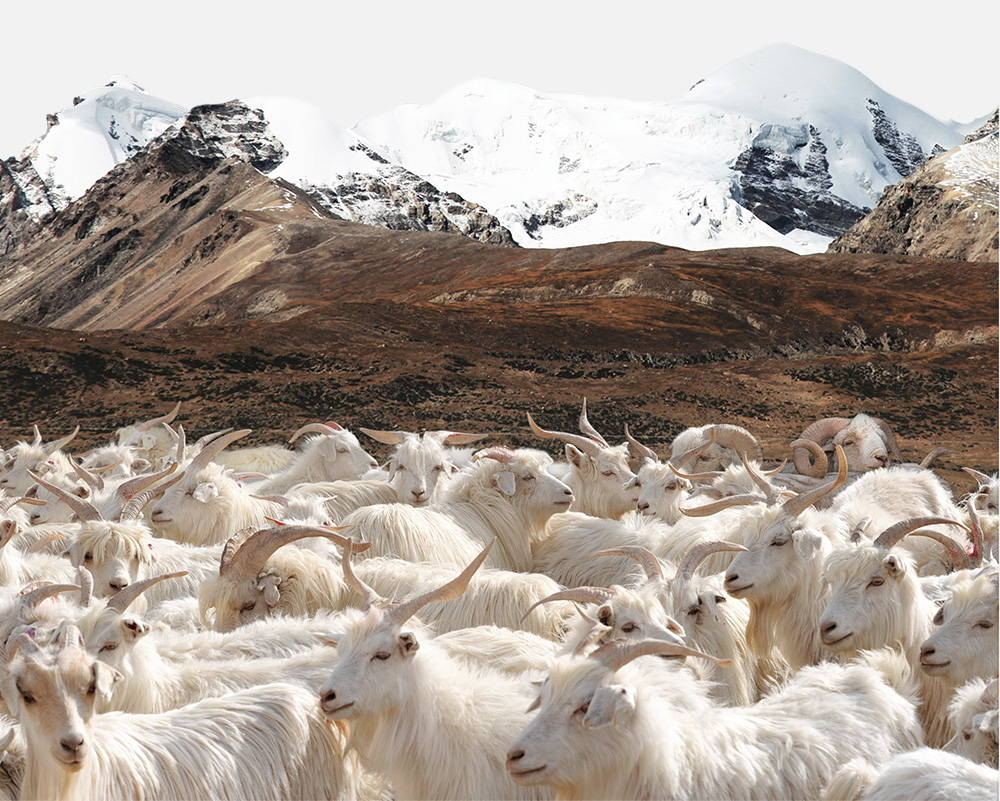 A herd of Mongolian cashmere goats at the base of snow capped mountains