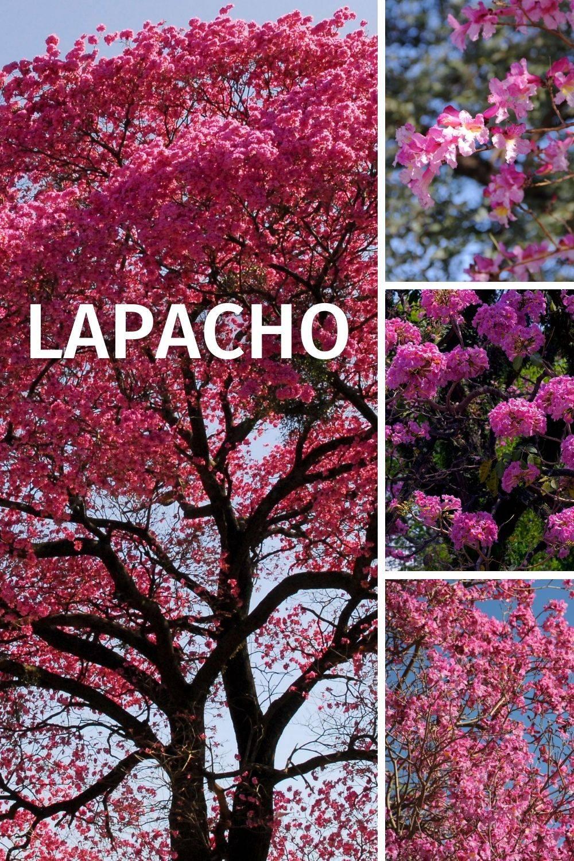 Historische Verwendung von Lapacho: Darminfektionen, Erkältungen, Grippe, Gürtelrose, Herpes, Insektenstiche, Schuppenflechte, Verdauungsbeschwerden, Wundheilung