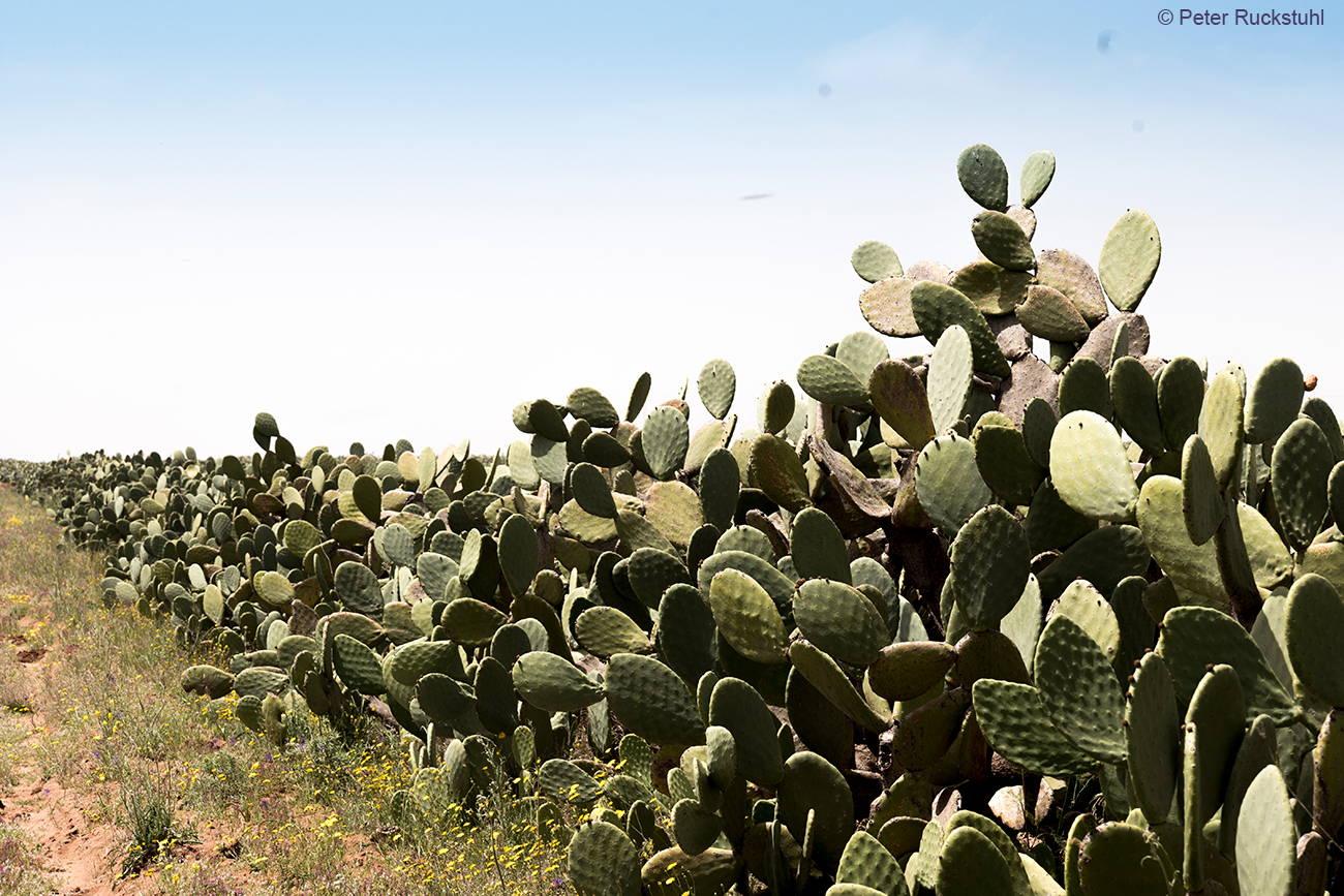 Kaktusfeigenbäume