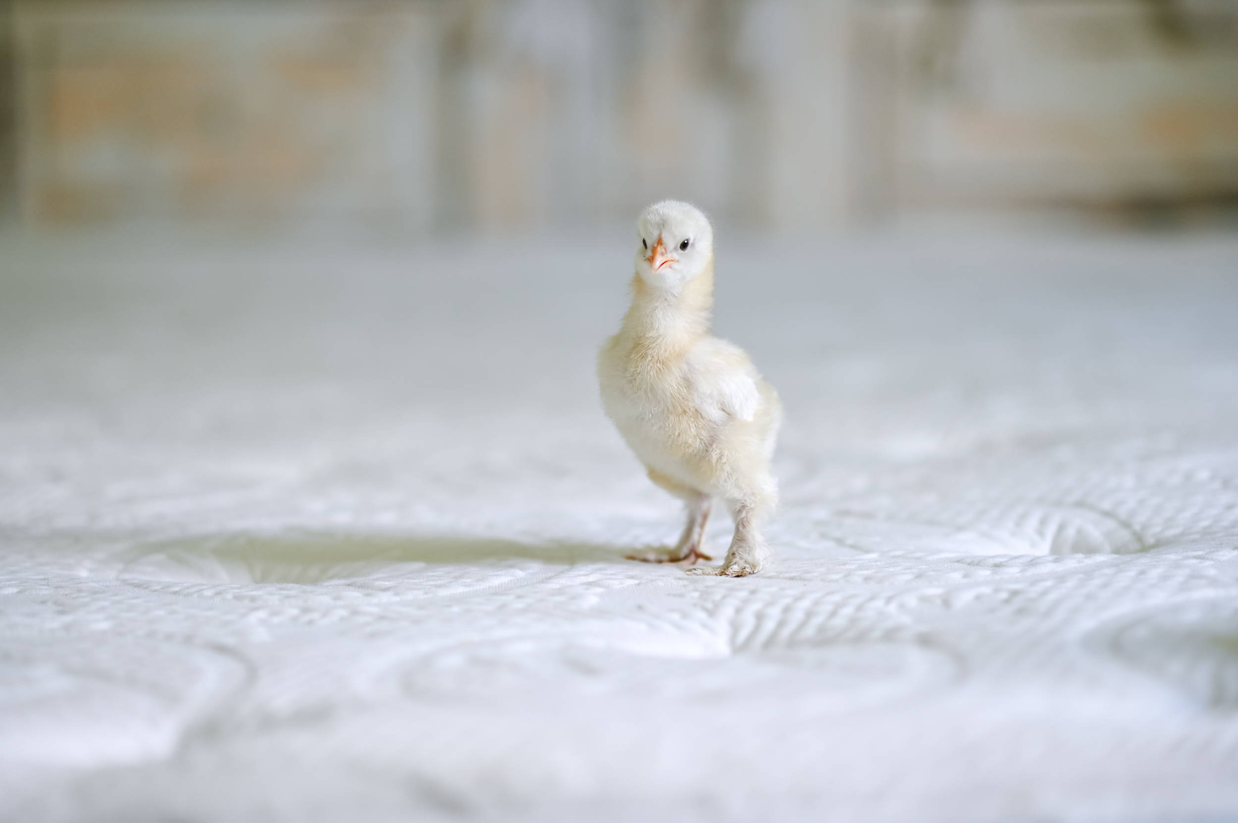 """A small yellow chick standing on a 14"""" Lux Hybrid Haven mattress."""