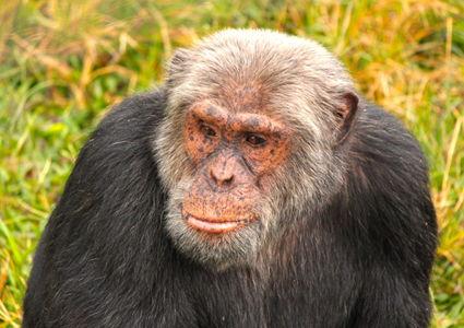 primates-in-uganda