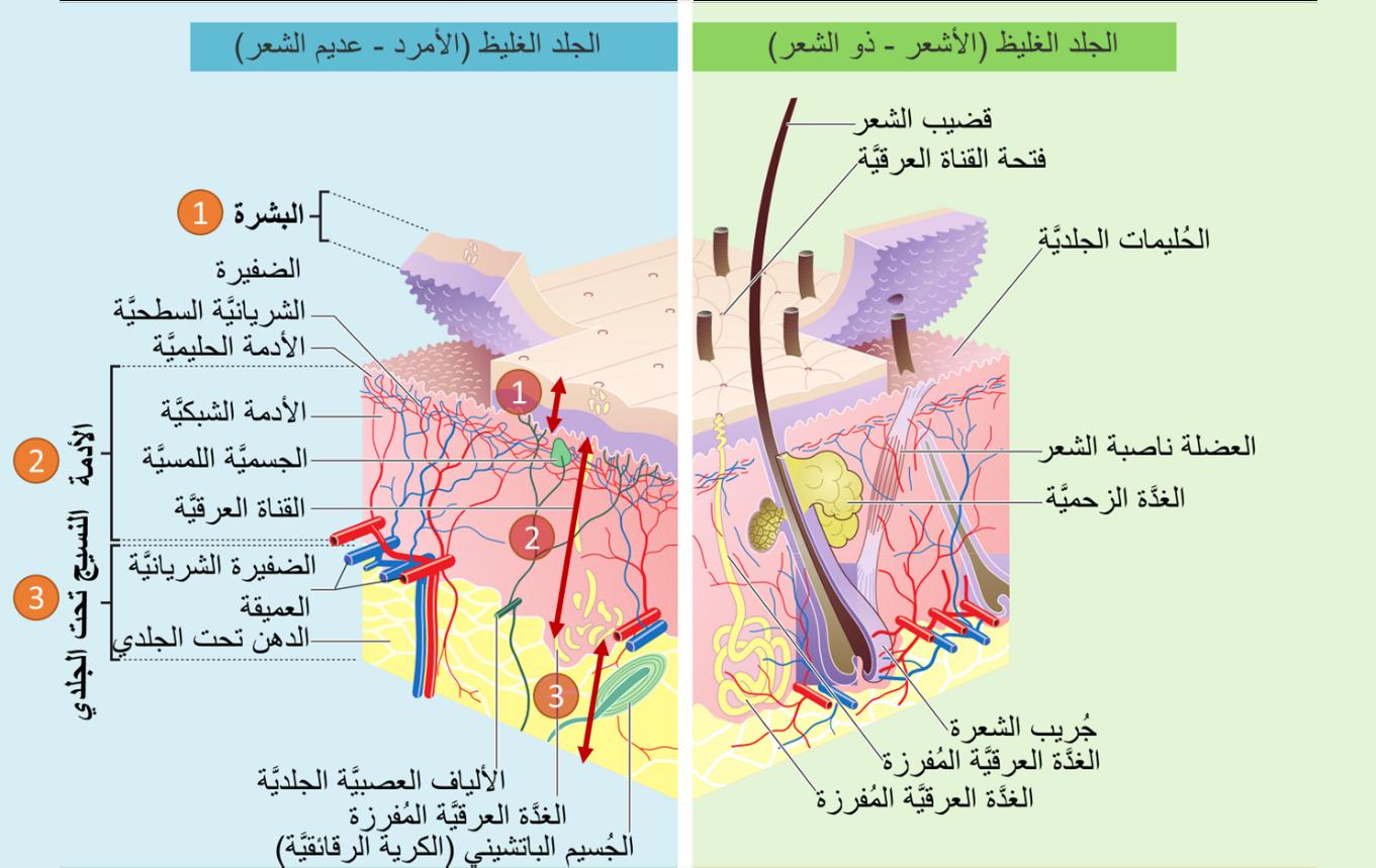 صورة تشريحية لطبقات الجلد ومكوناتها المختلفة توضح البشرة والأدمة في الجلد
