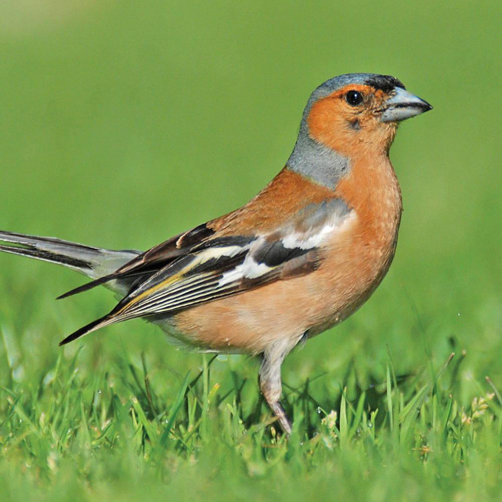 Topflite premium bird feed for chaffinch