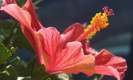 Hibiscus Extract It is a highly pure mineral and does not require enriching processes