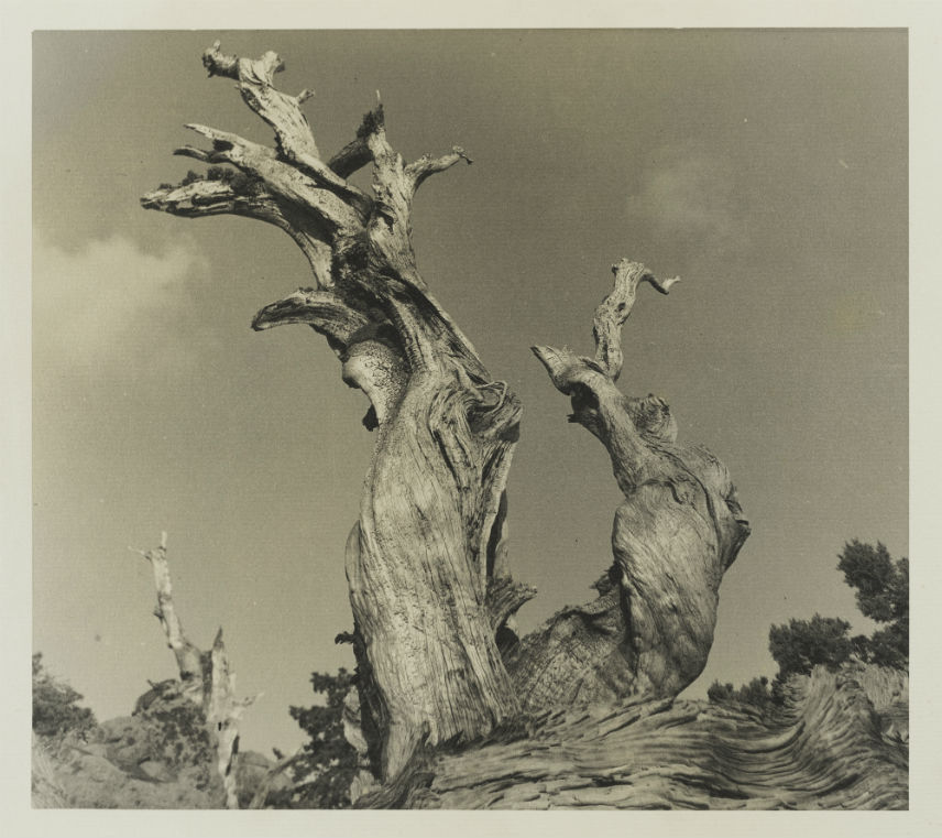 Gnarled Trees, High Sierras