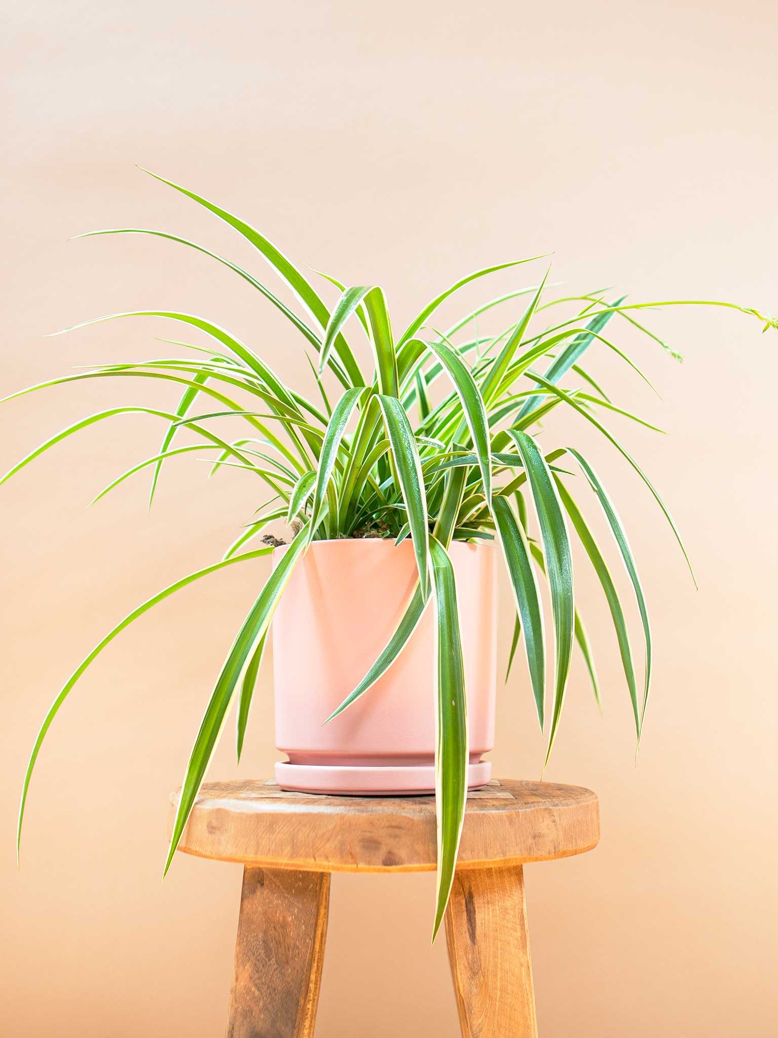 Reverse spider plant potted on a stool
