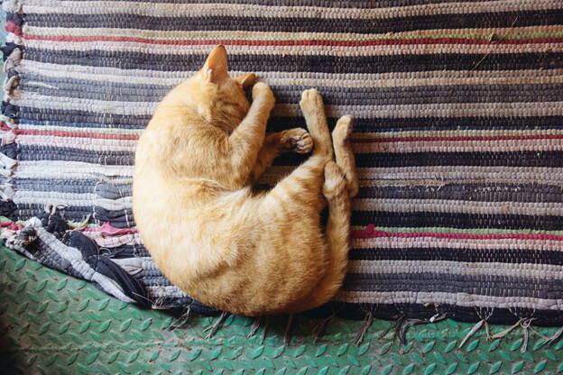 cat naps, adult cat sleeping