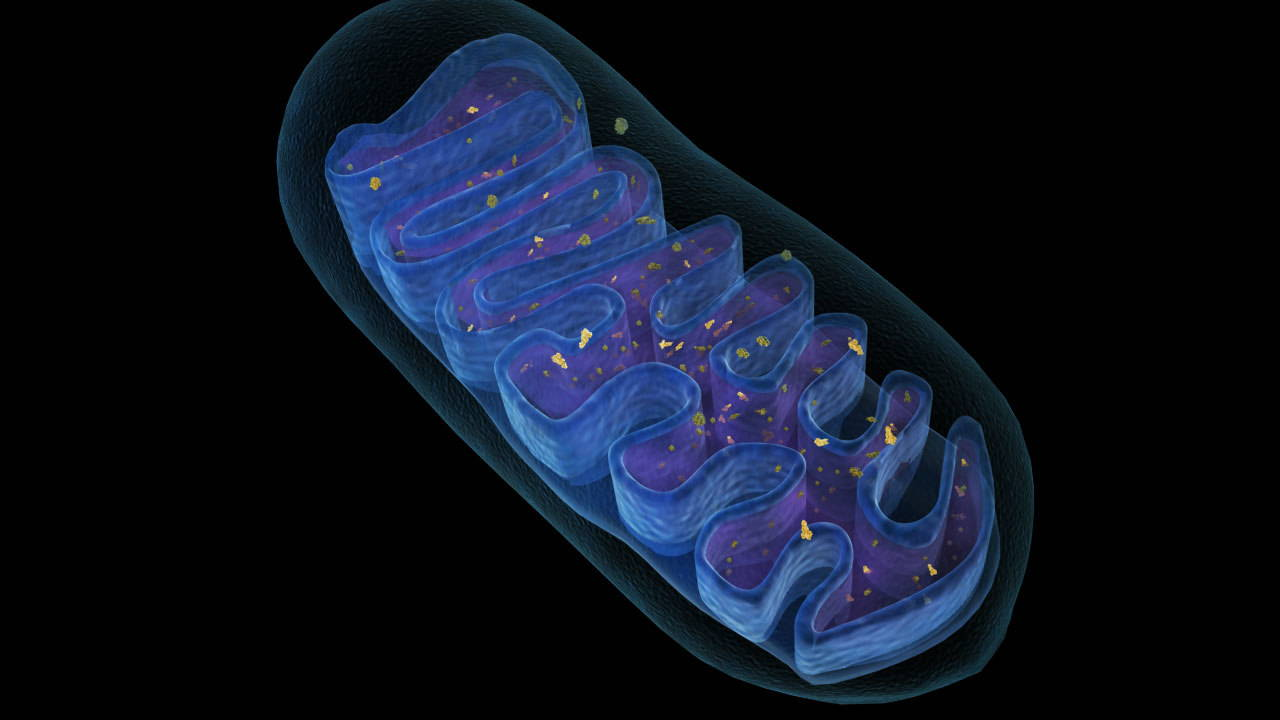 Mitochondria are the batteries that fuel cells