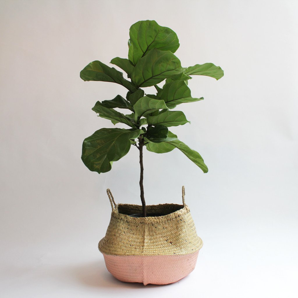 Ever Wonder How To Care For The Fiddle Leaf Ficus Plant You May Have Heard That This Is A Tricky But It S Common Misconception