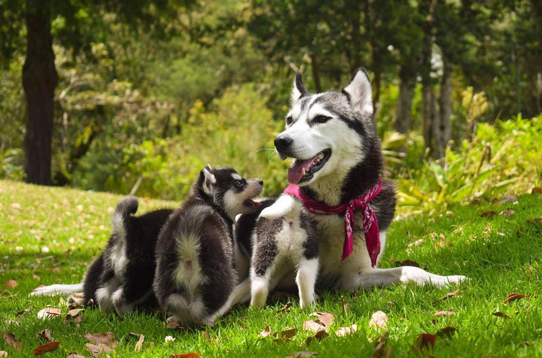 Husky-Hündin beim Stillen ihrer Welpen