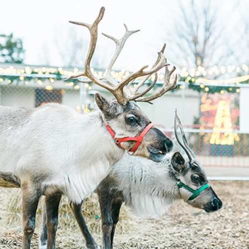 Picture of Delight in the joy of the holiday season during Holiday LIGHTS at Cheekwood. Nashville's favorite tradition returns with Santa's reindeer, trains, and one mile of lights!