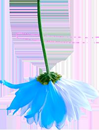 Blaue Kamille