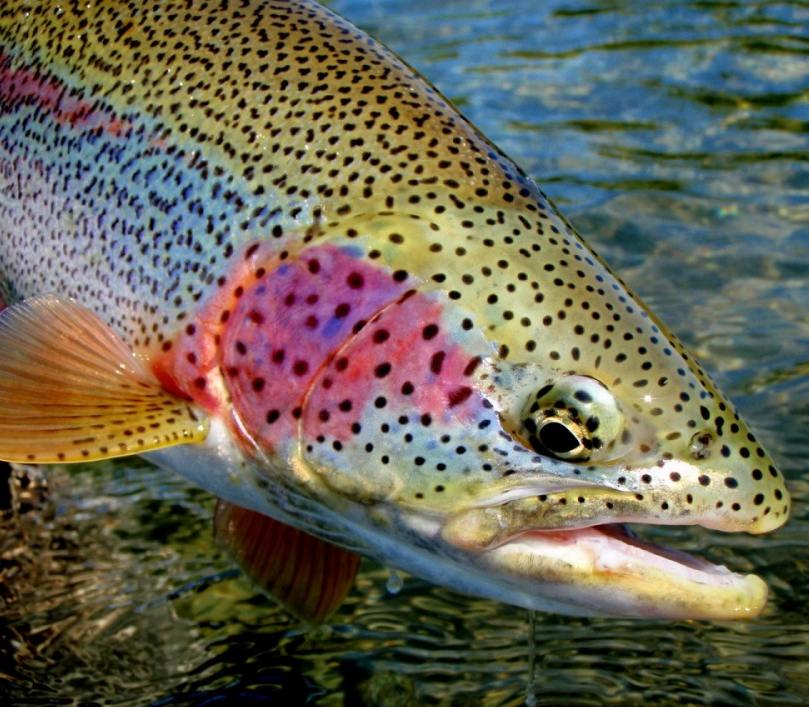 Alaska fly fishing float trips alaska species you can for Types of fish in alaska