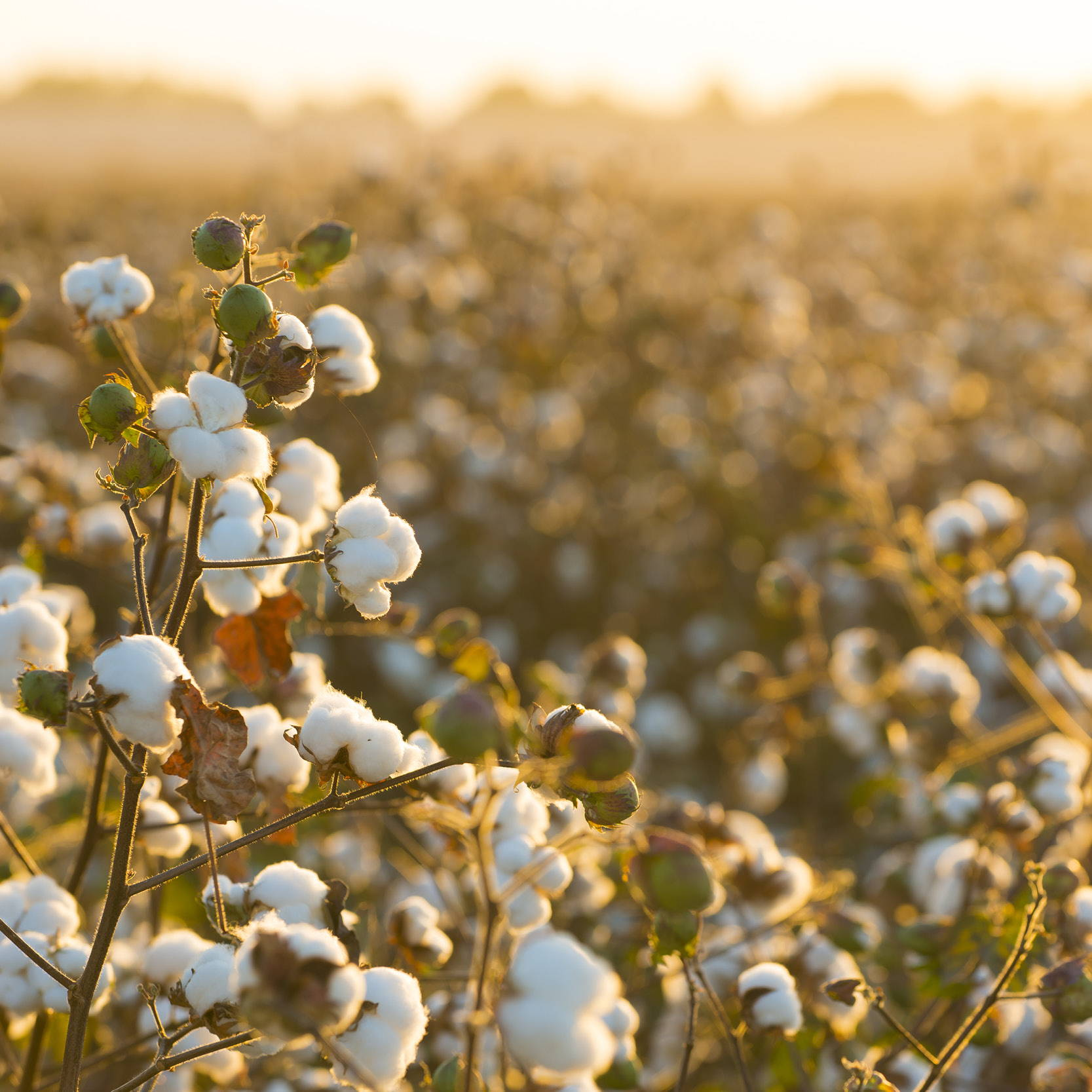 Organic cotton growing in a field at sunrise. Image