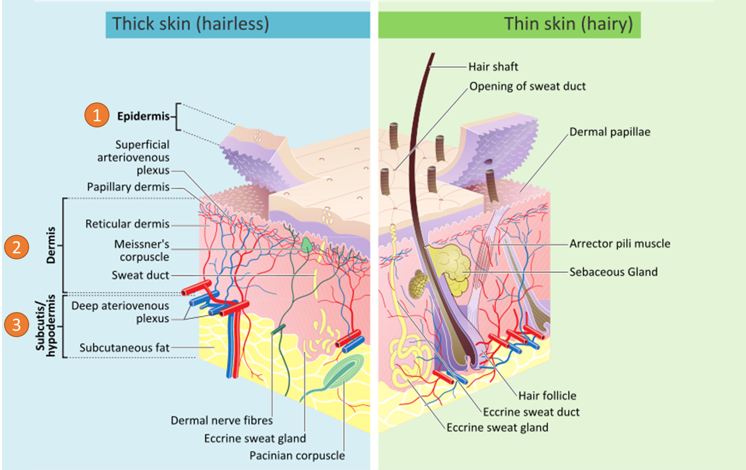 Anatomical graph that shows skin layers and their different components either in epidermis or dermis.