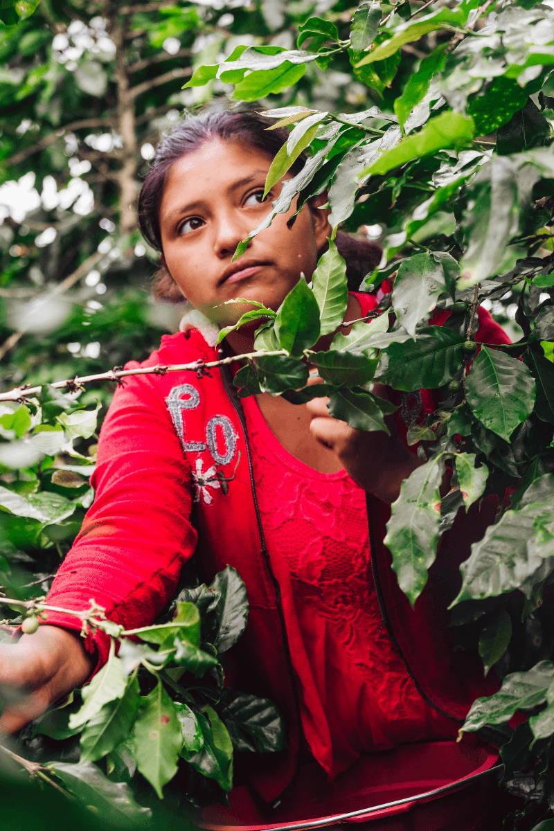 Woman coffee picker behind coffee tree leaves.