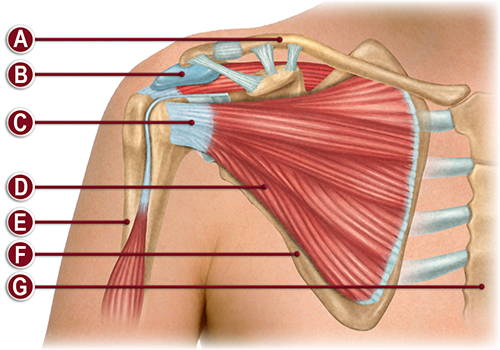 FRONT OF THE RIGHT SHOULDER ANATOMY ILLUSTRATION