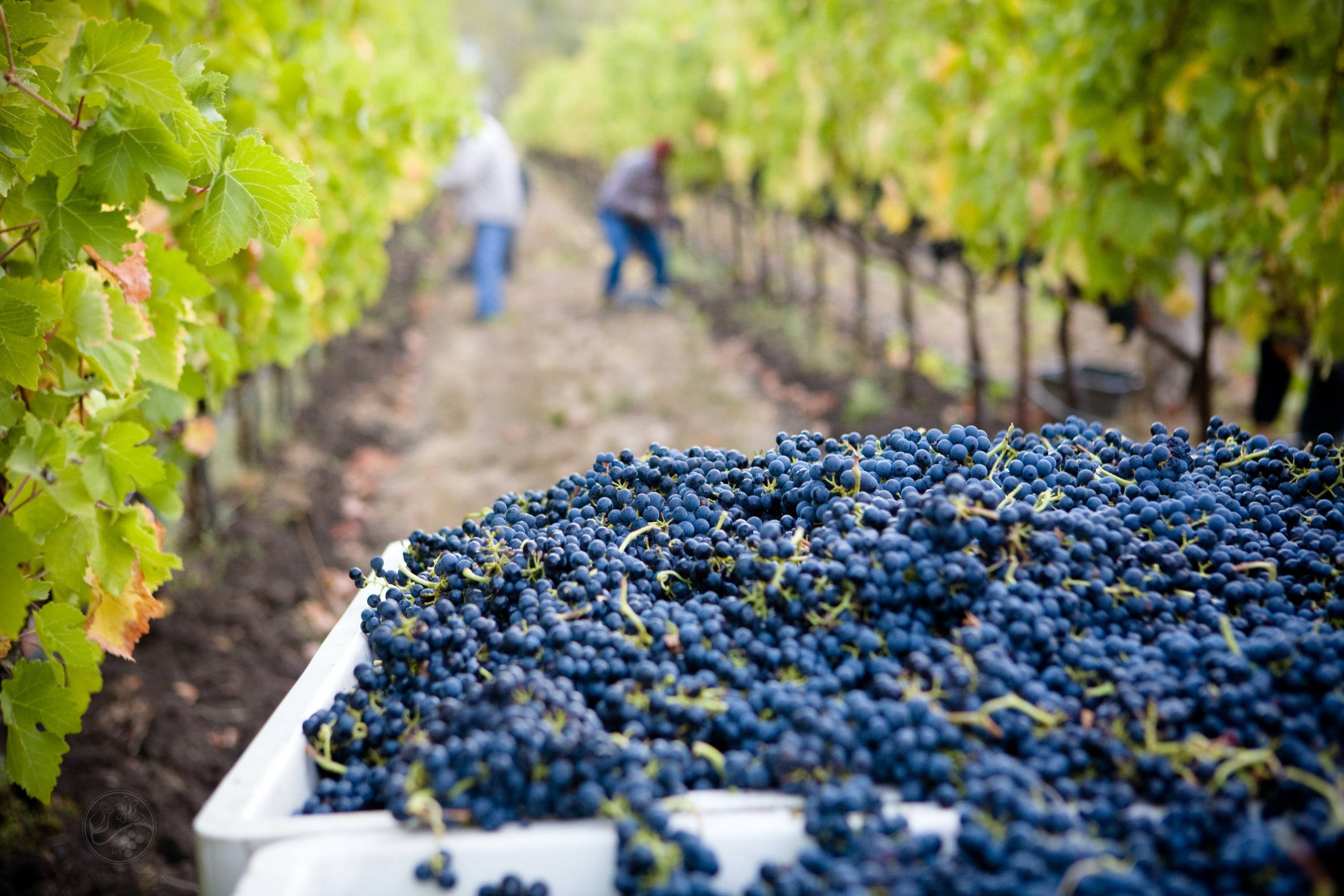 Nebbiolo grapes being harvested at its origins in Piedmont Italy.