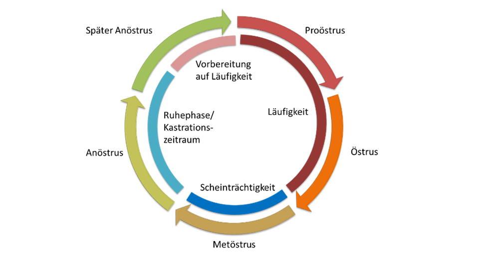 Hormonzyklus der Hündin