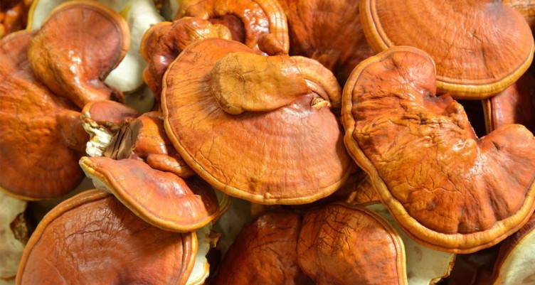 mountainlife siberian reishi mushroom collection