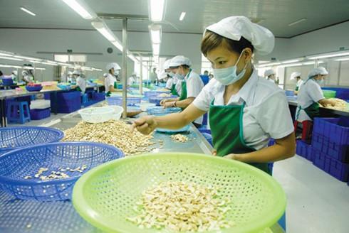 ECONOMY Vietnam retains its position as world's leading cashew exporter