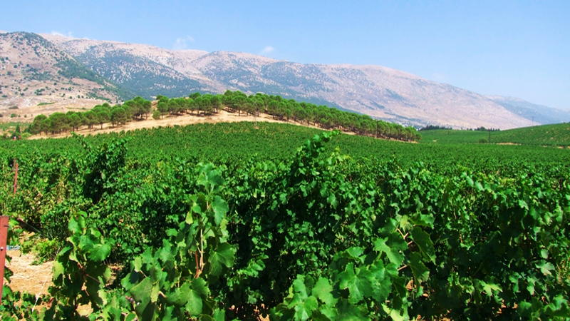 Vineyards of Lebanon