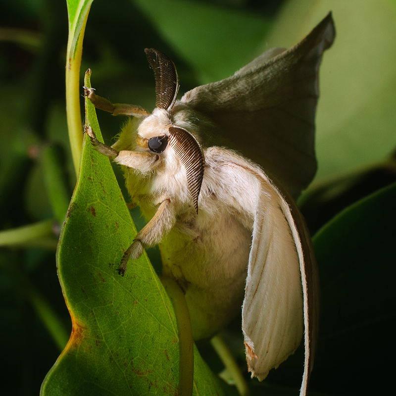 Bombyx mori moth that produces the silk worm egg