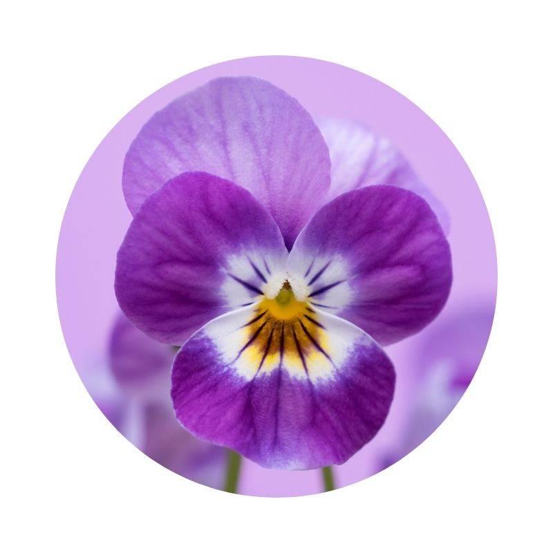 STIEFMÜTTERCHEN Viola tricolor Heilpflanzen Heilkräuter Lexikon Heilwirkung Wirkung