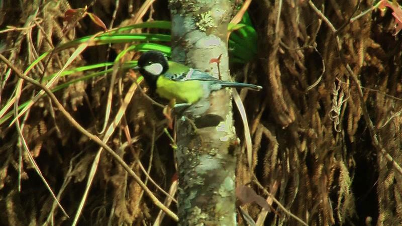 Green backed Tit, Bhutan