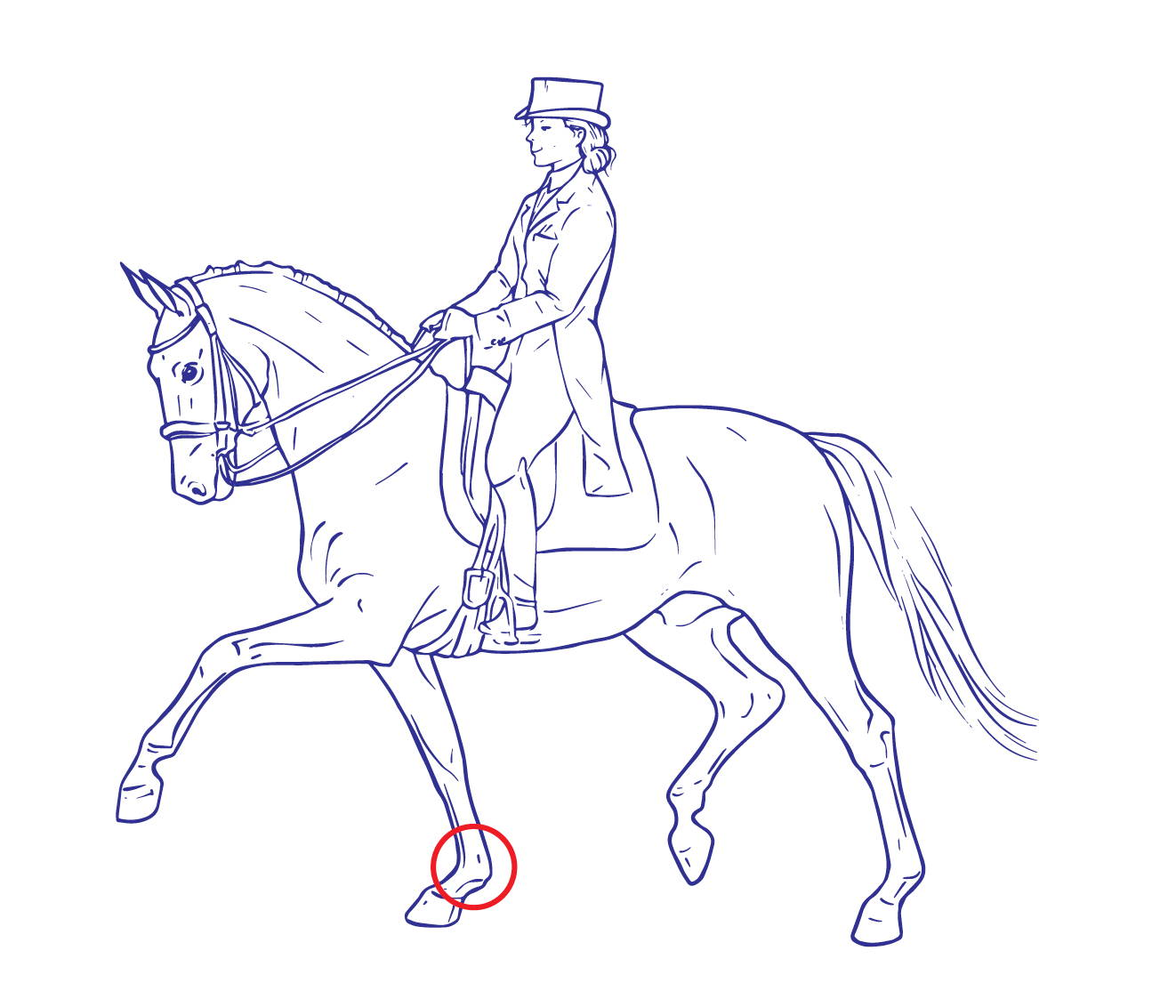 Drawing fetlock joint horse