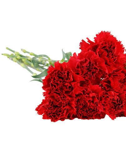 HF Dozen red Carnations