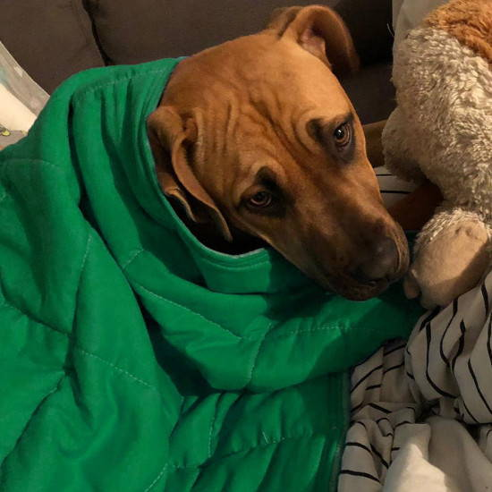 Calming Pets' weighted blankets help soothe a dog's anxiety