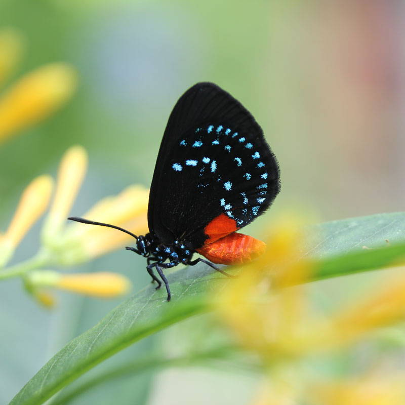 Atala butterfly resting on a leaf